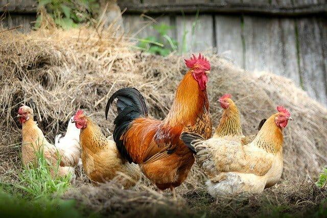 新型コロナウイルス感染症よりはるかに高い致死率の「鳥インフルエンザ」に警戒せよ